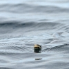 sea-snake-tavarua