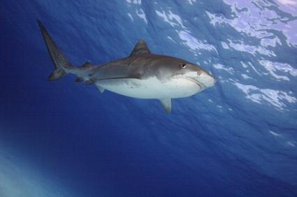 Les surfeurs ont le désavantage de ne pas voir arriver les requins par en-dessous.
