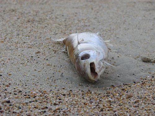 Pasteurellose des poissons morts