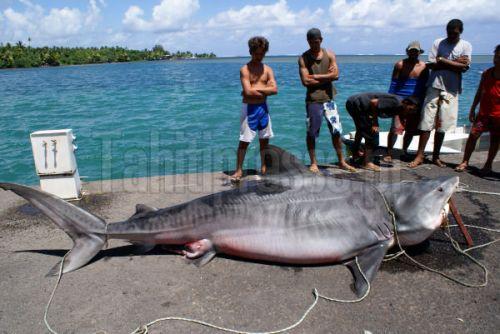 Le requin capturé par accident à Teahupoo / Copyright Tahitipresse