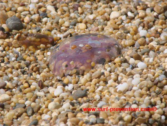 Les petites méduses ne sont pas forcément les moins urticantes… Copyright www.surf-prevention.com