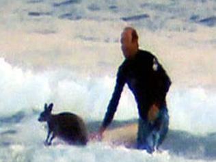 Un surfeur sauve un bébé kangourou !