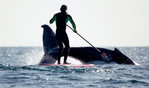 Jamie Mitchell en SUP (stand-up paddle board) avec une baleine...