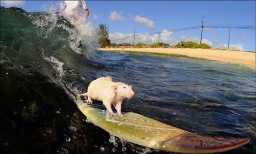 Des souris qui font du surf !