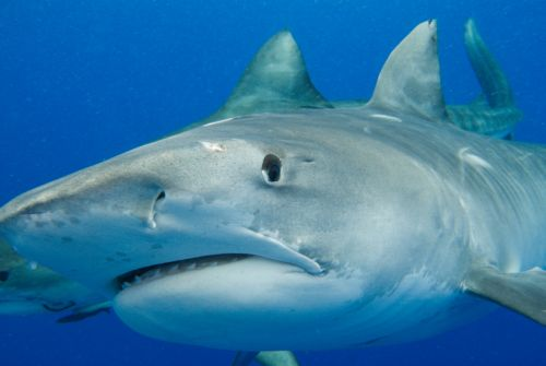 Photo d'un requin tigre - tiger shark -