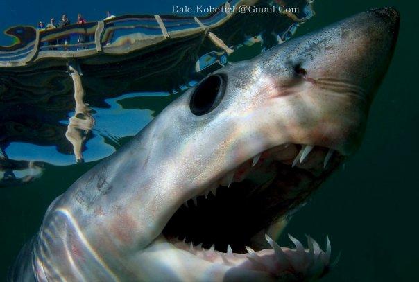 Dale Kobetich : face à face avec un requin mako !