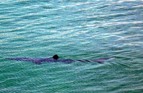 Alerte au Requin à Biarritz : ce n'est pas un canular !