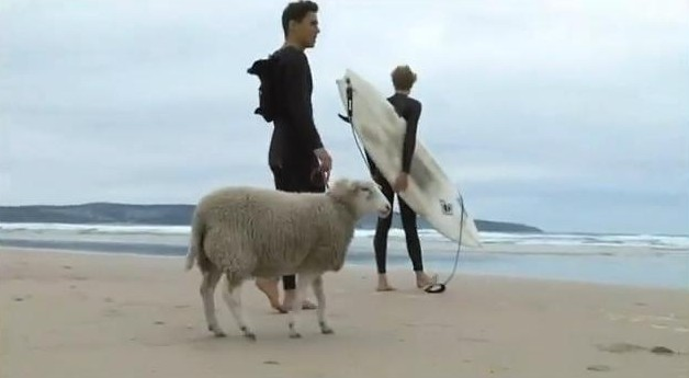 video du mouton qui fait du surf - surf mouton - mouton surfeur - surfing sheep