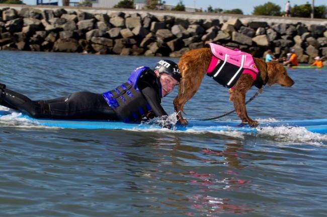 Surf Dog Ricochet : le chien d'assistance aux surfeurs handicapés