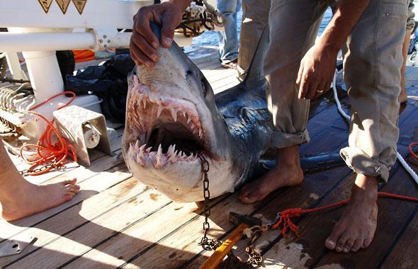 Egypte : attaques de requins sanglantes en Mer Rouge