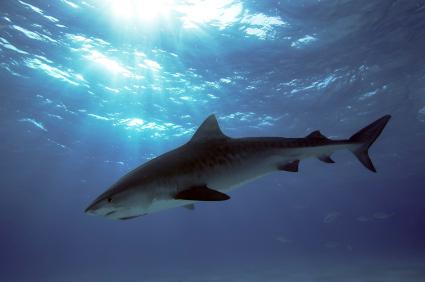 Les facteurs de «risque requin» à la Réunion de Boucan-Canot à Saint-Gilles