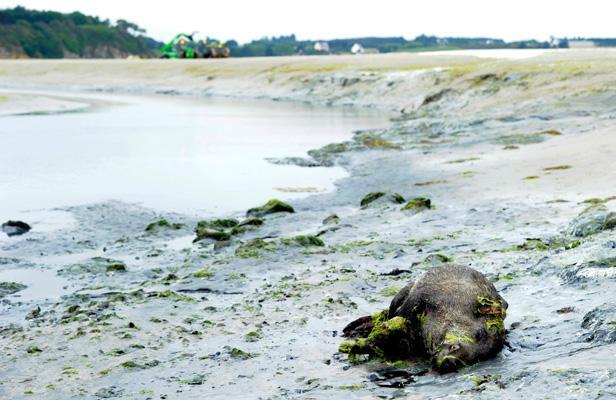 Les algues vertes probablement responsables de la mort des sangliers