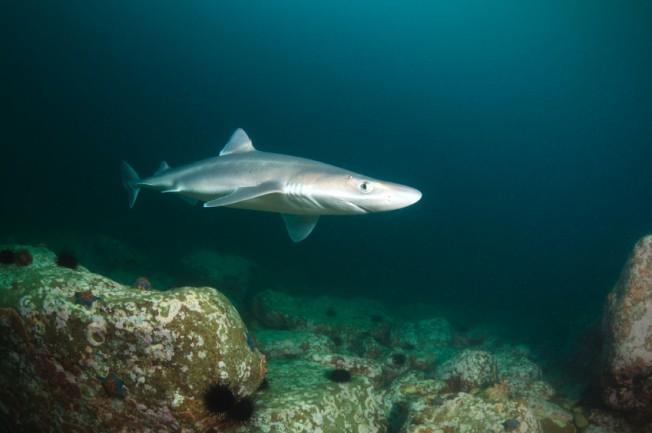 Squalamine : et si les requins nous aidaient à combattre les virus ?