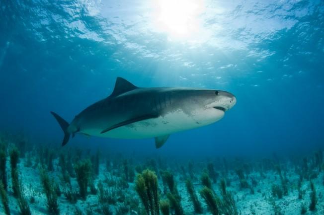 Attaques de requin à la Réunion: Shark Shield, marquage et pêche préventive envisagés