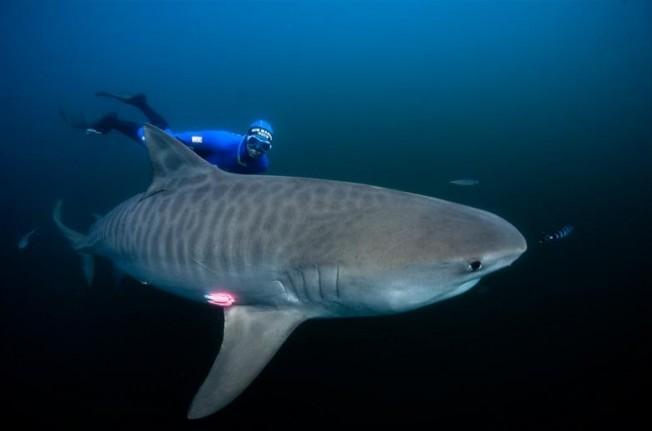 Fred Buyle repère des requins bouledogues pendant le marquage à La Réunion