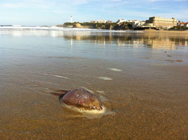 Méduses sur la Côte Atlantique : elles sont encore là !