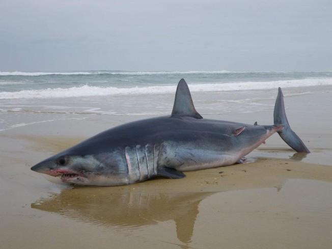 Requin mort sur une plage des Landes à Lit-Et-Mixe : requin-taupe ou requin mako ?