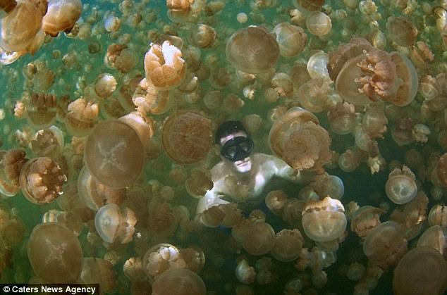 Insolite : nage avec les méduses dans le «Jellyfish Lake» de Palau