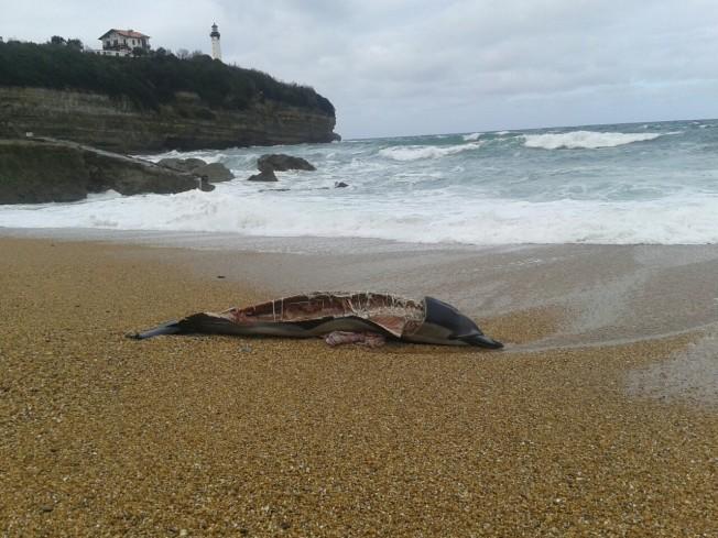 Reportage sur les dauphins morts – France Bleu Pays Basque