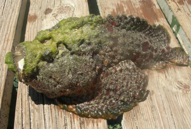 Poisson-pierre : le poisson le plus venimeux du monde !