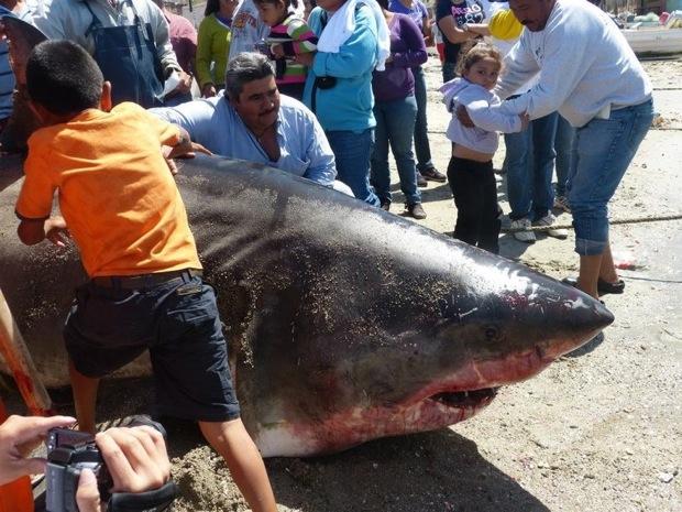 Un énorme Grand Requin Blanc sorti par des pêcheurs au Mexique
