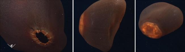 Deepstaria Enigmatica : l'étrange créature sous-marine était une méduse