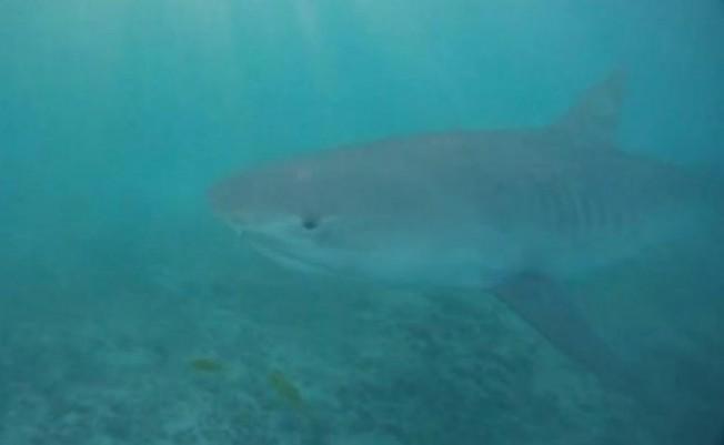 Australie – Un père de famille se fait une belle frayeur avec un requin tigre