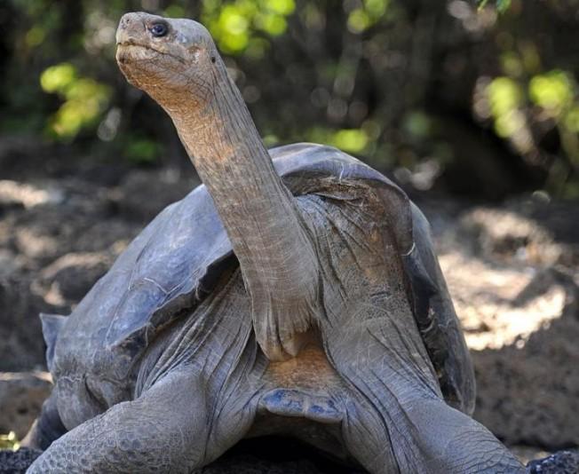 Mort de «Georges le Solitaire», la dernière tortue géante des îles Galápagos de son espèce