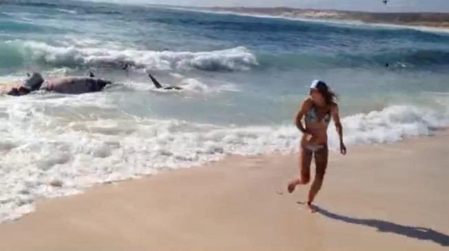 Des dizaines de requins attaquent une baleine devant une surfeuse en Australie