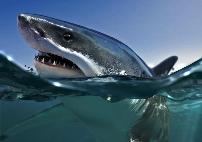 Vision du Requin : le Requin Tigre a-t-il des yeux de Lynx ?
