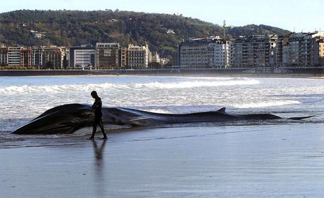 Une Grande Baleine s'échoue sur la plage à Saint-Sebastien