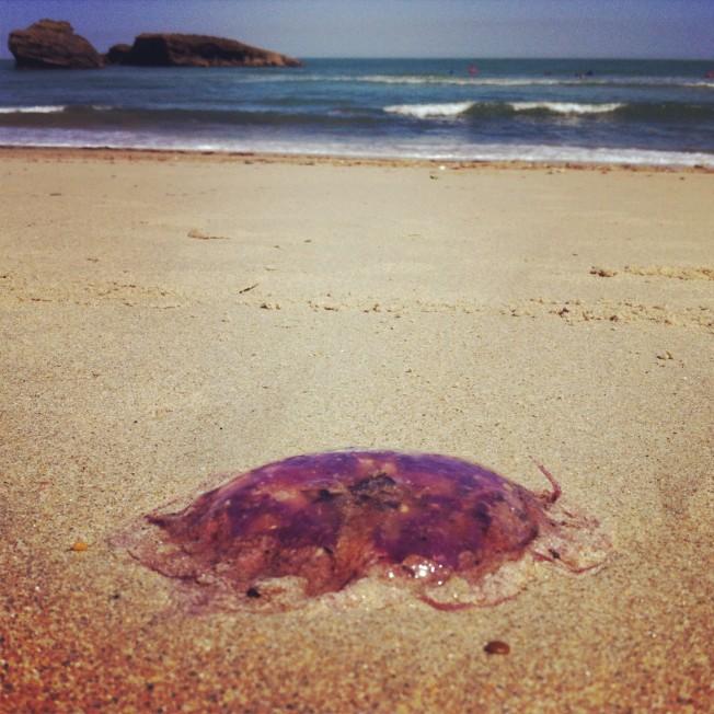 Biarritz – Anglet: les Méduses font leur retour…