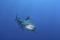 Attaque de Requin sur Surfeur à Boucan-Canot à La Réunion