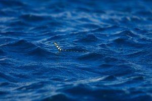Serpent de mer a Tavarua
