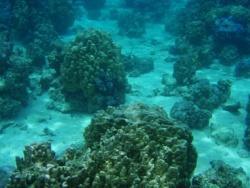 Des patates de corail composent le reef à Tahiti. Copyright iStockphoto.