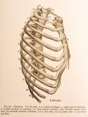 Anatomie de la cage thoracique. ©iStockphoto.com / Mark Strozier